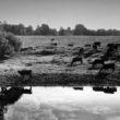 Uģis Niedre. Madonas rajona Lubānas pagasta saimniecības ganāmpulka atliekas ganībās pie Aiviekstes, 1994