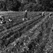 Uģis Niedre. Kartupeļu rakšana. 1982. 18. sept.