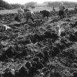 Uģis Niedre. Kartupeļu rakšana Daugavas krastā iepretī Kaplavas pagastam. 1983. gads
