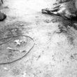 Linda Dorigo. Ēģipte, Deir Abu Hennis, Jūlijs 2012. Pēc gavēņa Deir Abu Hennis ciemata iedzīvotājiem atkal ir ļauts lietot uzturā gaļas un piena produktus. Vakara krēslā miesnieks ar diviem palīgiem nokauj vienu no savām govīm un tirgo gaļu uz ielas.