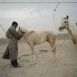 Mikele Palaci. Mongolija, Gobi, Omongovi, 2012 Tuvšinbajars piesien savus zirgus, lai tie vētras laikā neaizbēgtu.