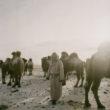 Mikele Palaci. Mongolija, Gobi, Omongovi, 2013. Tuvšinbajars slauc kamieļus pirms kļūst tumšs.